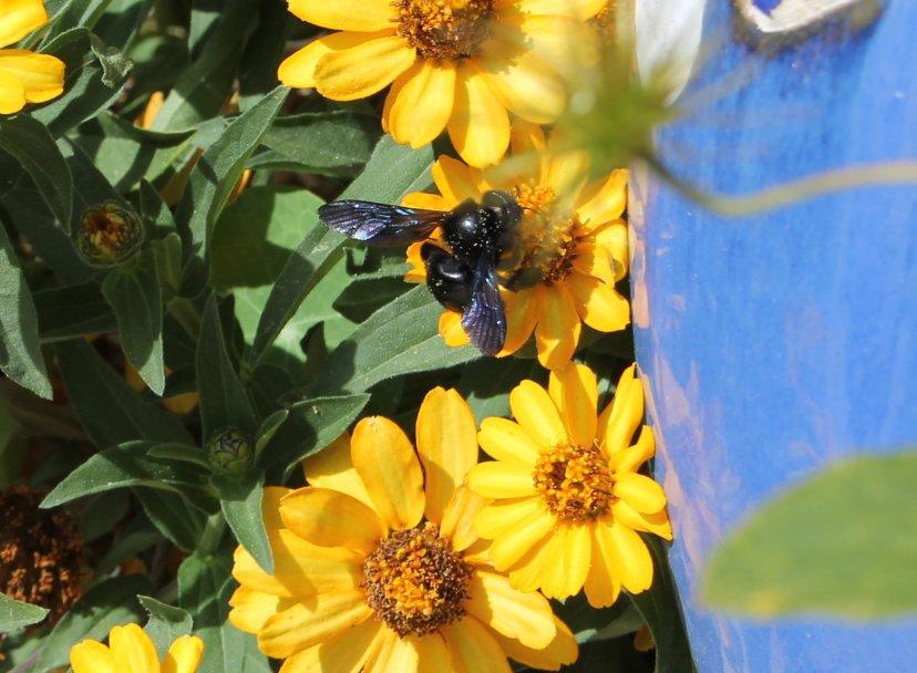 IMG_5556Black-bee-small.jpg